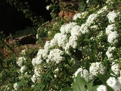 Bridalwreath