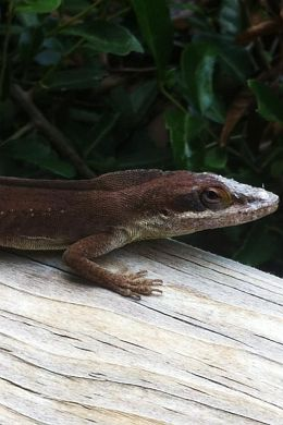Mature Male Anole