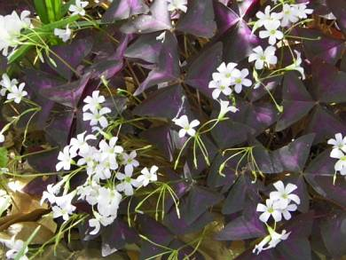 Purple Shamrock - Oxalis triangularis