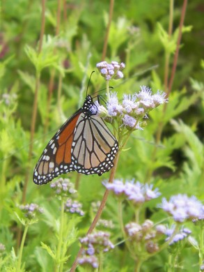 Monarch adult on mistflower.