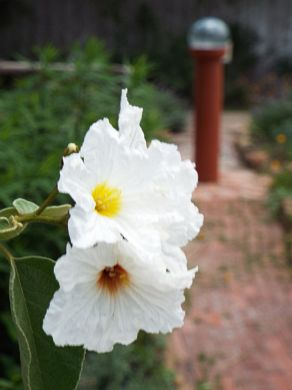 Texas Olive, aka Anacahuita (Cordia boissieri), blooms near the Bride's Cottage Garden.