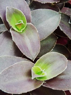 A unique variety of Wandering Jew (Tradecantia sp.).