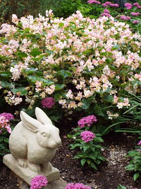 The concrete bunny amidst Pentas and Begonia blossoms.