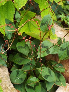 The tiny flowers of Persicaria virginiana 'Lance Corporal' adorn wiry stems above patterned leaves.