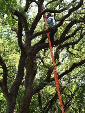 A skilled installer places a light more than 30 feet up in a live oak tree.